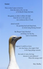 Gannet, illustrated poem card